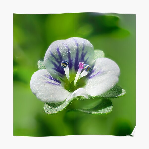 Thyme-Leaved Speedwell 02 Poster