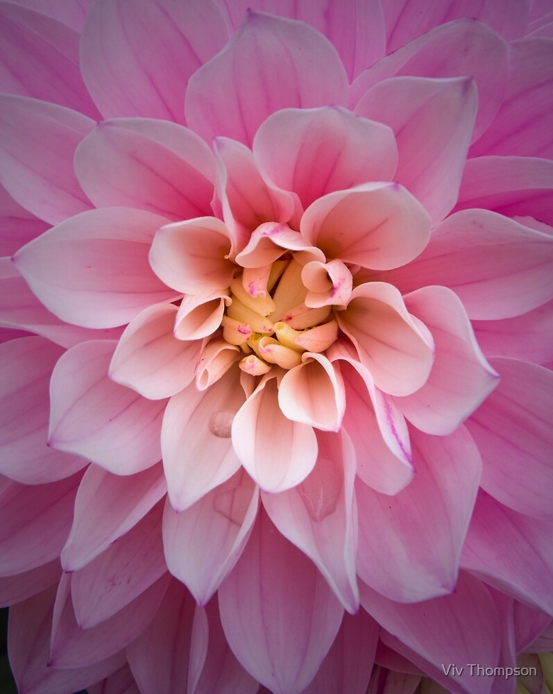Dahlia at Bucklers Hard by vivsworld