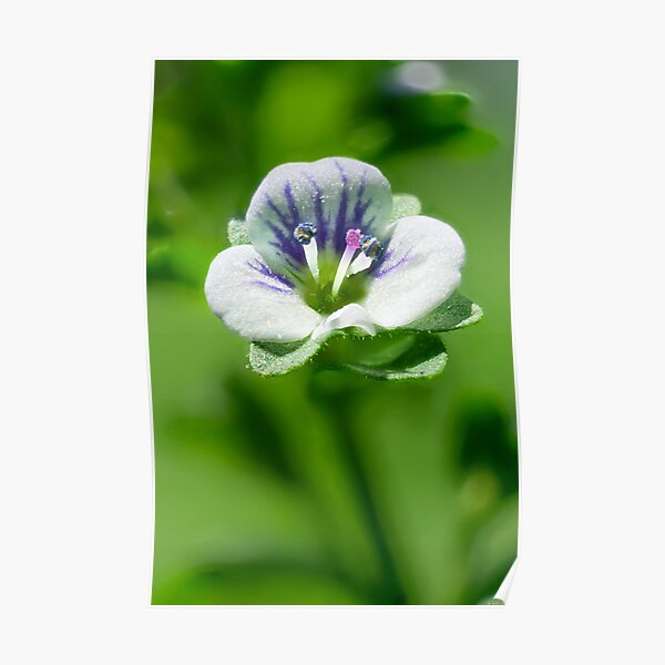 Thyme-Leaved Speedwell 01 Poster