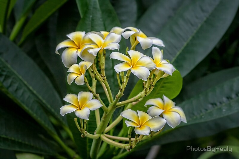 Frangipani by Photos by Healy