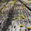 Maple Tree Flowers by Shawna Rowe