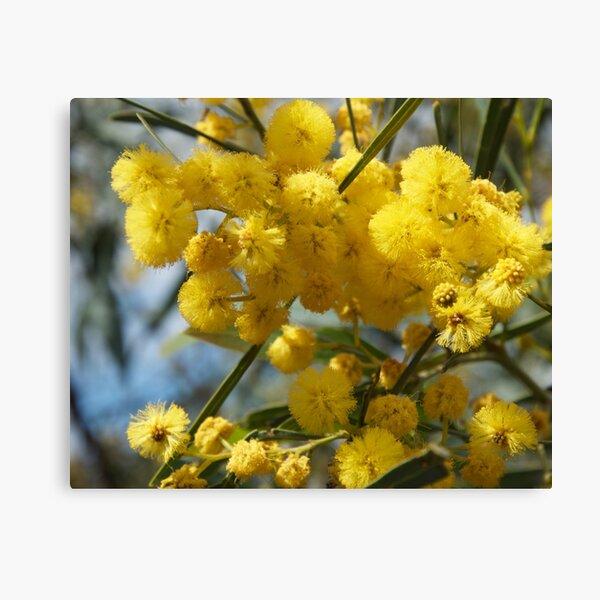 Wattle flowers 2 Canvas Print