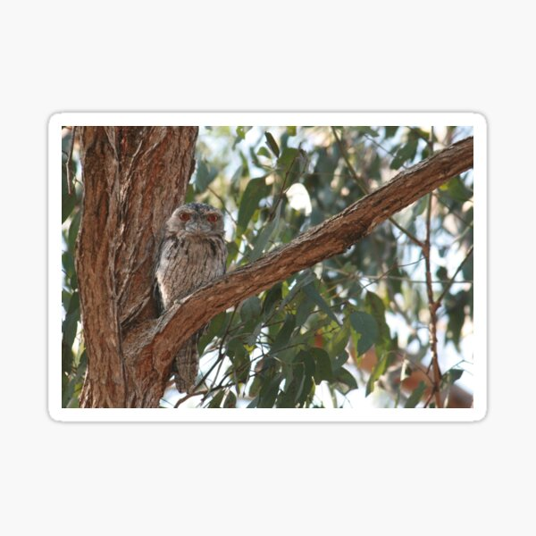 Tawny Frogmouth Staring Sticker