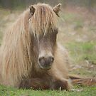 Mini Horse Resting by SMiddlebrook
