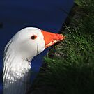 Grazing goose by turniptowers