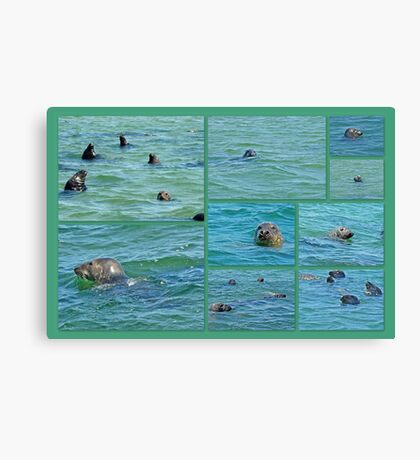 Gray Seals at Chatham - Cape Cod Canvas Print