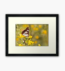 Southern White Admiral butterfly (Limenitis reducta).  Framed Print
