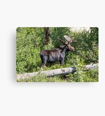 RMNP Bull Moose Canvas Print