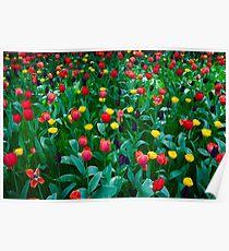 Tulips @ Keukenhof Poster