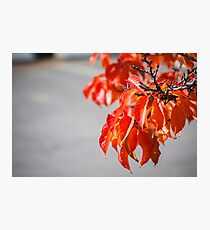 Autumn coloured leaves on a tree Photographic Print
