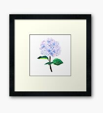 blue purple pink hydrangea Framed Print