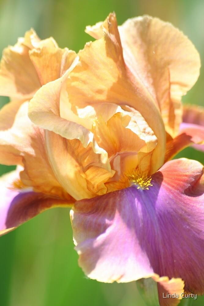 Peach Iris by Linda Curty