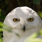 Snowy Owl by M S Photography/Art