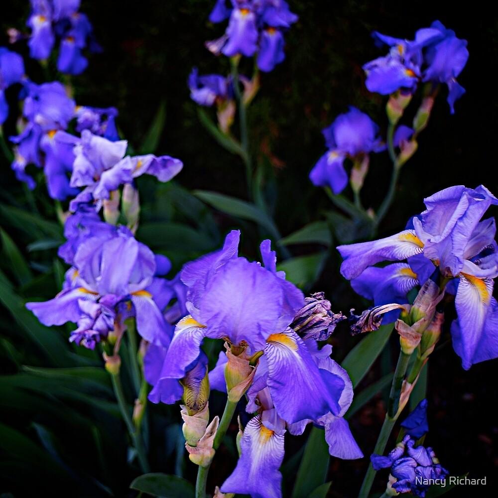Irises for spring beauty by Nancy Richard