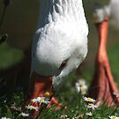 Domestic goose eating grass by turniptowers