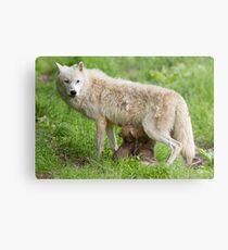 Arctic wolf feeding pups Metal Print