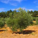 The Olive Grove by jean-louis bouzou