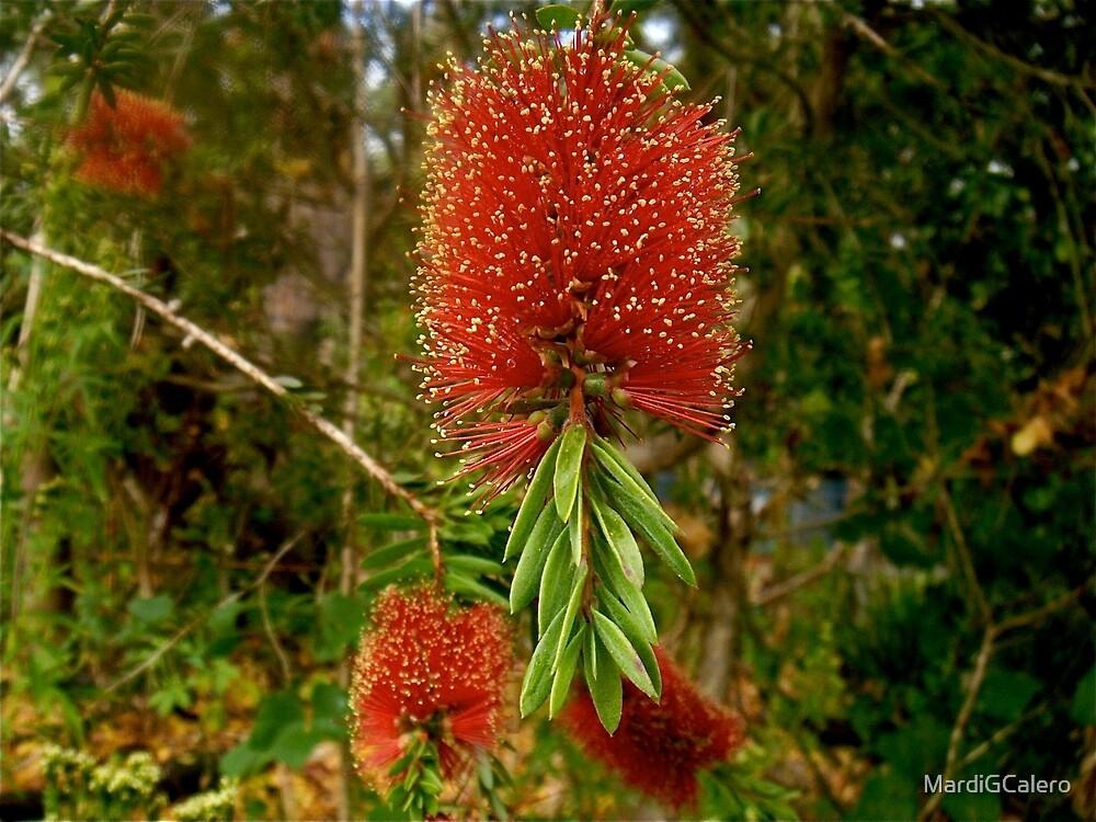 Bottlebrush, Eucalyptus. Gold Coast Aust; by MardiGCalero