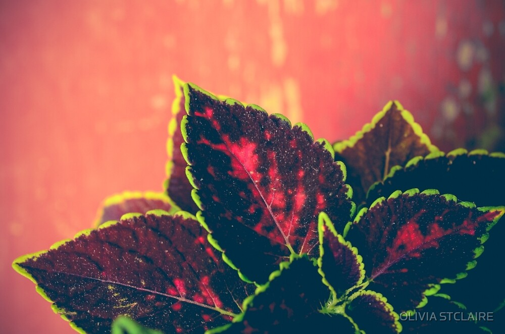 Coleus Leaves on Red Vintage Table by OLIVIA JOY STCLAIRE