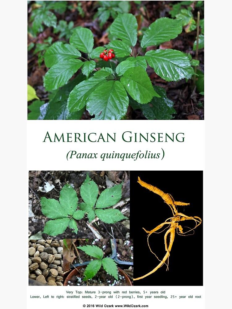 American Ginseng  by wildozark
