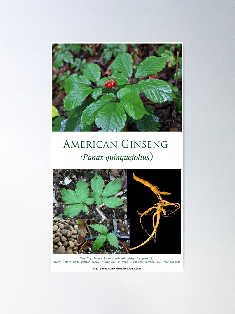 Alternate view of American Ginseng  Poster