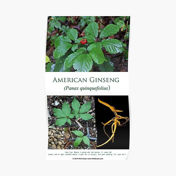 American Ginseng  Poster