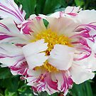 Tulip by Jackie Popp