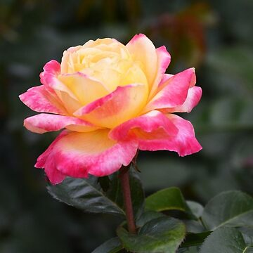 Love and Peace Rose by ginawaltersdorf