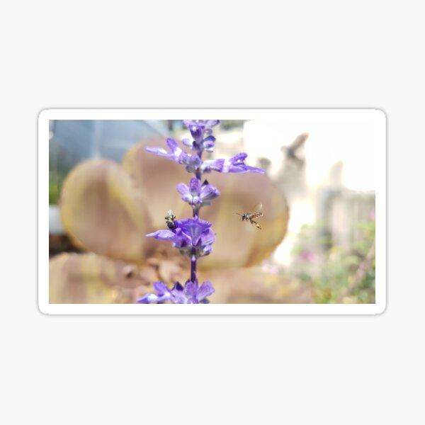 Native Australian Bees and Salvia Sticker