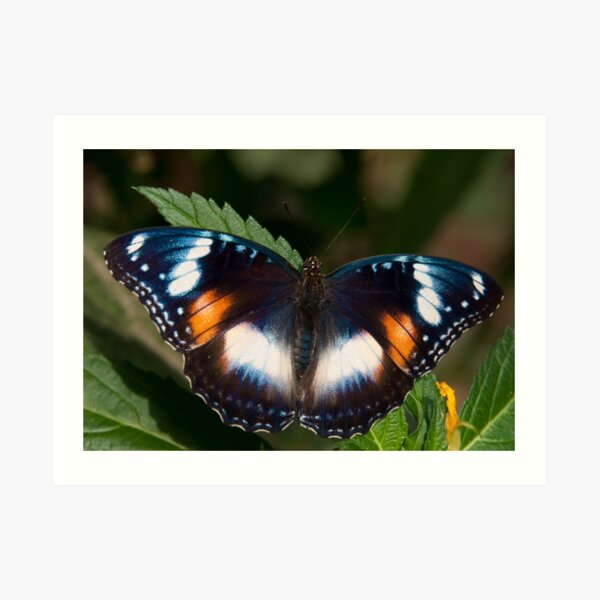 Common Eggfly female, Northern Territory, Australia Art Print