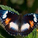 Common Eggfly female, Northern Territory, Australia by Erik Schlogl