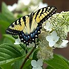 Yellow Tiger Swallowtail by Elisabeth and Barry King™ by BE2gether