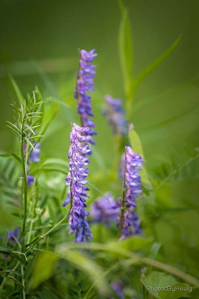 Vicia cracca by PhotosByHealy