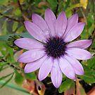 Raindrops on Petals - Pretty Pink Cape Daisy von BlueMoonRose