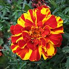 Flamboyant French Marigold by MidnightMelody
