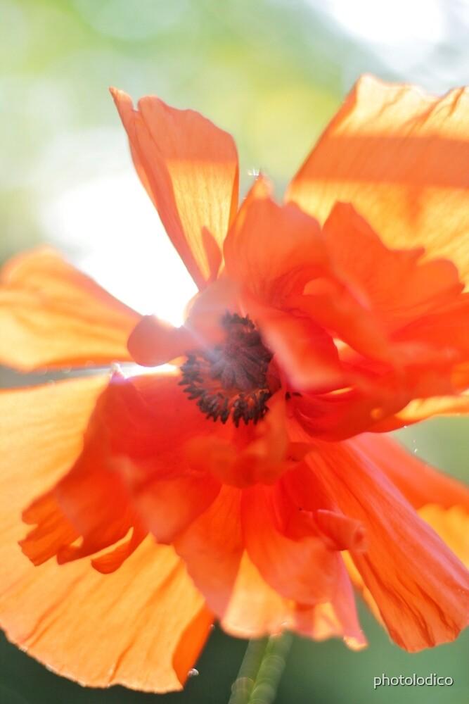 SUNSHINE POPPY by photolodico
