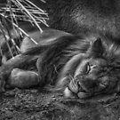 Lazy Leo by Randy Turnbow