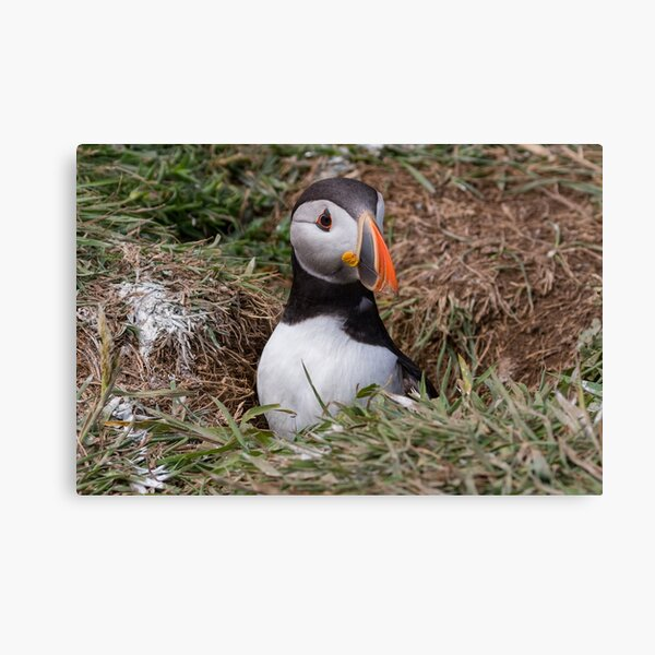 Puffin emerging from it's burrow Canvas Print