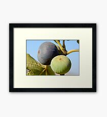 fruit and leaves of a fig tree Framed Print