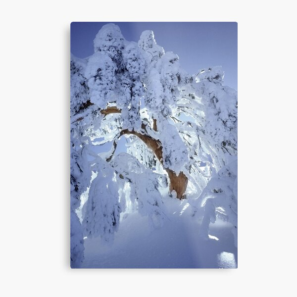 Snow encrusted snowgum Metal Print