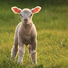 Larry lamb and his lovely pink ears! by bared