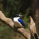 forest kingfisher by Steven Guy