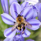 Bumble Bee on Allium by AnnDixon