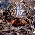 Male Box Turtle by TJ Baccari Photography