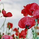 Field of Poppies Against Grey Sky  by taiche