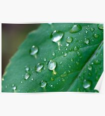 water droplets on a leaf in spring  Poster