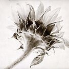 Sunflower Study #2 by LouiseK