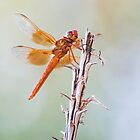 Flame Skimmer on Agave by Ruth  Jolly
