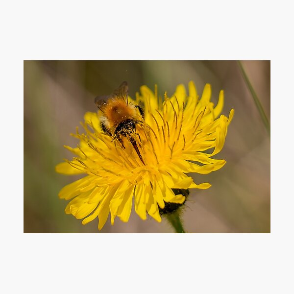Carder Bee Photographic Print