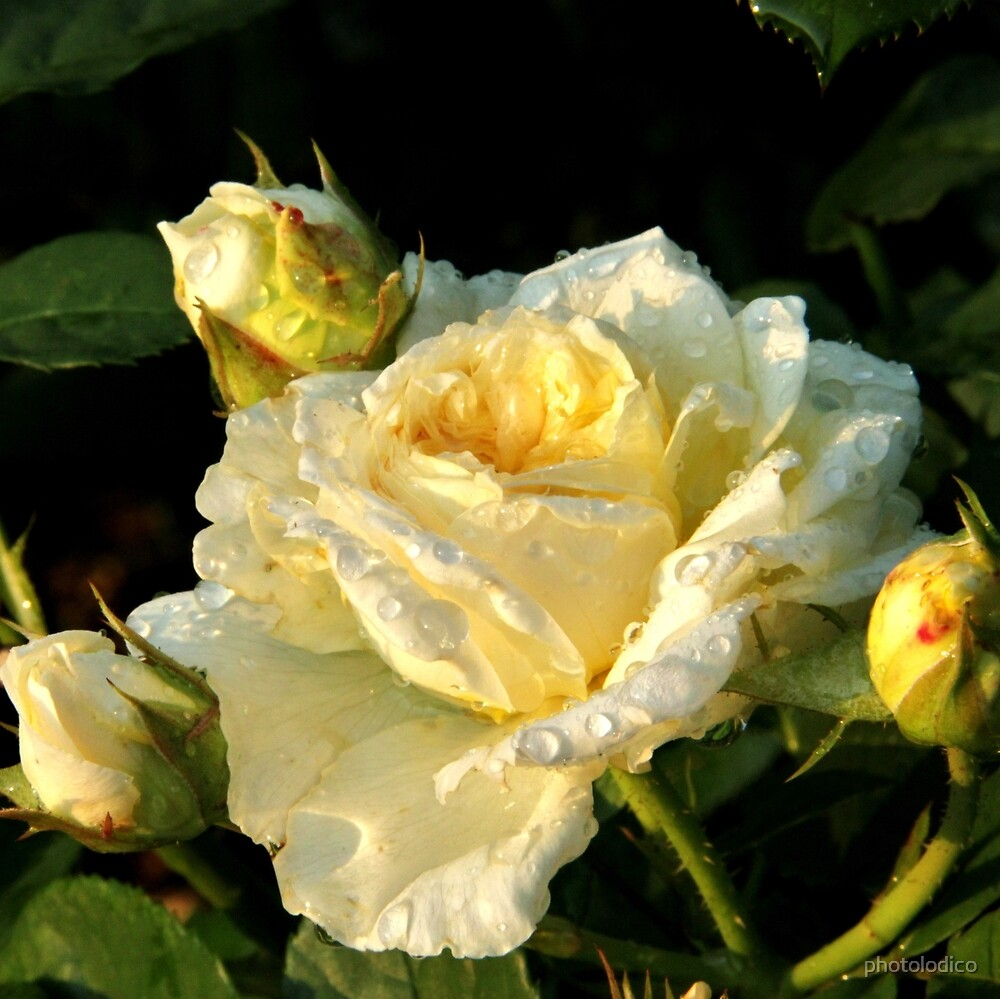 Yellow Rose of Rachis by photolodico
